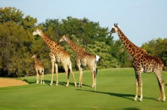 Golf at Hans Merensky, Phalaborwa - The Extreme Wildlife & Golf Tours